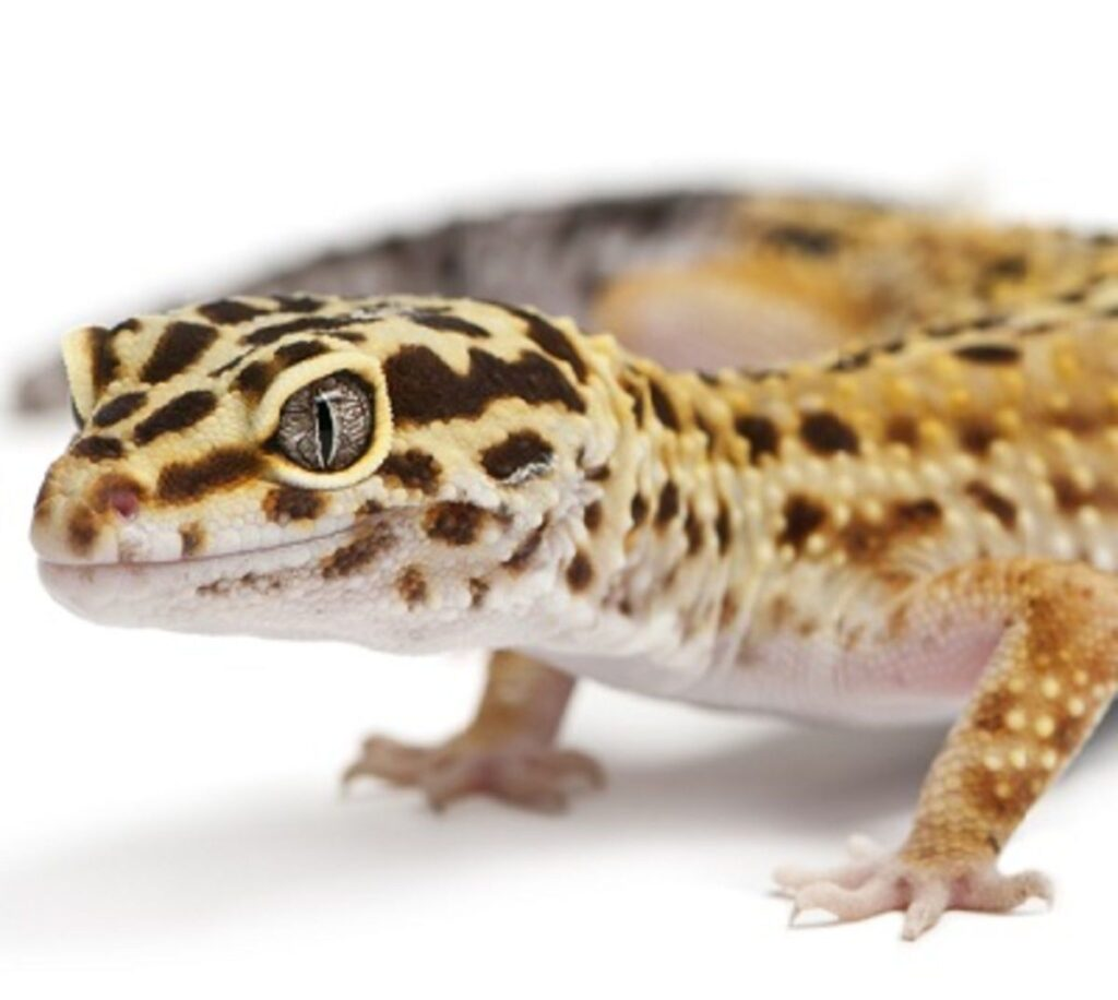 Guidance to Make a Perfect Housing Structure for Leopard Geckos